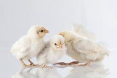 Nowi lągów kurczaki stoi na glass.GN Zdjęcie Stock