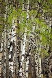 Nowi liście na osikowych drzewach w wiośnie obrazy stock