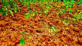 nowi plantes Zdjęcie Royalty Free