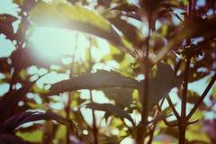 Nowi sprigs i światło słoneczne raca Zdjęcie Stock