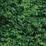 Nowi Virginia pełzacza liście, Świeżego Mokrego Zielonego liścia Makro- tekstura, letniego dnia tła wzór Obraz Stock