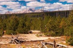 Nowi Wzrostowi Evergreens zdjęcia stock
