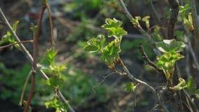 Nowi zieleń liście na rodzynku krzaku zdjęcie wideo