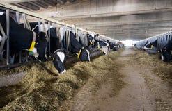 Nowożytna krowy stajenka obrazy stock