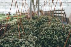 Nowożytna szklarnia, cieplarnia, kultywacja lub wzrostowi ziarna ornamentacyjne rośliny, kwiat pepiniera wśrodku wnętrza zdjęcie stock