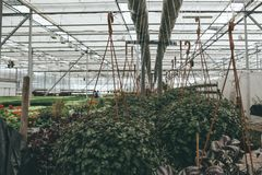 Nowożytna szklarnia, cieplarnia, kultywacja lub wzrostowi ziarna ornamentacyjne rośliny, kwiat pepiniera wśrodku wnętrza obrazy stock