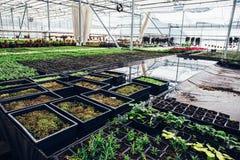 Nowożytna szklarnia, cieplarnia, kultywacja lub wzrostowi ziarna ornamentacyjne rośliny, kwiat pepiniera wśrodku wnętrza fotografia stock