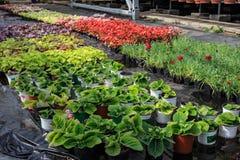 Nowożytna wielka szklarnia, cieplarnia, kultywacja lub wzrostowi ziarna ornamentacyjne rośliny, kwiat pepiniera wśrodku wnętrza obrazy royalty free