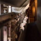 Nowożytny broiler kurczaka farma drobiu, przemysł, rolniczy obrazy royalty free