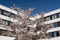 Nowożytny budynek biurowy z wiosny kwiatonośnym czereśniowym drzewem Zdjęcia Royalty Free