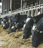 Nowożytny rolny cowshed z dój krowami je siano obraz stock