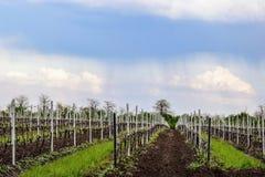 Nowo?ytne zaawansowany technicznie plantacje winnicy w wczesnej wio?nie obrazy royalty free