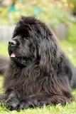 Nowofundland pies w jesień ogródzie Portret czarny pies w th Zdjęcie Stock