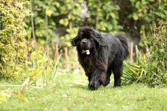Nowofundland pies w jesień ogródzie Portret czarny pies w th Obraz Stock