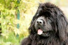 Nowofundland pies w jesień ogródzie Portret czarny pies w th Zdjęcie Royalty Free