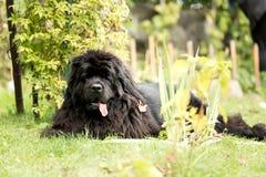 Nowofundland pies w jesień ogródzie Portret czarny pies w th Obraz Royalty Free