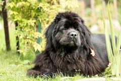 Nowofundland pies w jesień ogródzie Portret czarny pies w th Zdjęcia Royalty Free
