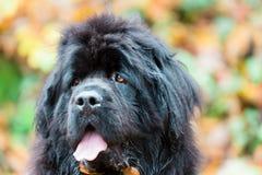 Nowofundland pies w jesień ogródzie Portret czarny pies w th Fotografia Stock