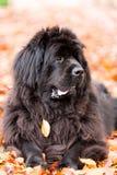Nowofundland pies w jesień ogródzie Portret czarny pies w th Obrazy Royalty Free