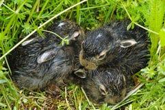 Nowonarodzeni dziecko króliki w trawie Fotografia Stock