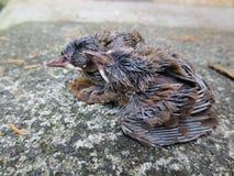 Nowonarodzeni głodni dziecko ptaki Zdjęcia Stock