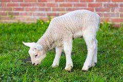Nowonarodzona biała jagnięca łasowanie trawa w wiośnie Obrazy Royalty Free