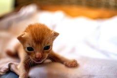 Nowonarodzona czerwona figlarka Nowonarodzony dziecko kot Śliczna dziecko kota zakończenia fotografia Urocza kiciunia chce mamy,  zdjęcie royalty free