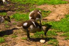 Nowonarodzona dziecko kaczka bawić się w parku fotografia royalty free