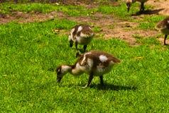 Nowonarodzona dziecko kaczka bawi? si? w parku obrazy royalty free