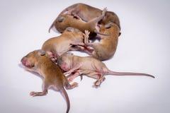 Nowonarodzona dziecko mysz zdjęcie royalty free