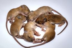 Nowonarodzona dziecko mysz obraz stock