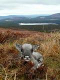 Nowonarodzona reniferowa łydka w Szkocja zdjęcia royalty free