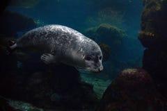 Nowonarodzona szczeniaka michaelita foka przychodzi ty Fotografia Royalty Free