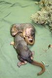 Nowonarodzone dziecko wiewiórki Obraz Stock
