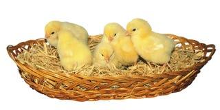 Nowonarodzonego dziecka żółci kurczątka - Akcyjny wizerunek fotografia stock