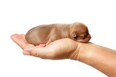 Nowonarodzony chihuahua szczeniak w troskliwych rękach Zdjęcia Stock