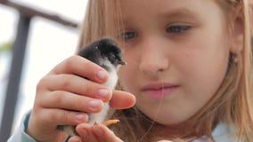 Nowonarodzony czarny i żółty kurczak w dziecko rękach Dziecka kurczątko na ludzkim palmowym zbliżeniu na zamazanym tle, zdjęcie wideo