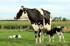 Nowonarodzony Holstein bliźniak cieli się z mamą w łące zdjęcie stock