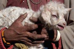 Nowonarodzony jagnięcy biały, z włosami, mały i bezbronny w szorstkim, kobieta wręczamy bacy, Tybet Obrazy Stock
