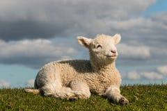 Nowonarodzony jagnięcy wygrzewać się na trawie fotografia royalty free