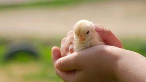 Nowonarodzony kurczak w dziecko rękach Dziecka kurczątko na ludzkim palmowym zbliżeniu na zamazanym tle, zbiory