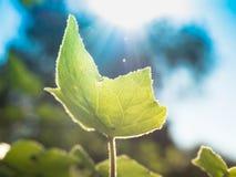 Nowonarodzony mały liścia bluszcz, światło słoneczne i obraz royalty free