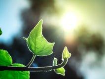 Nowonarodzony mały liścia bluszcz, światło słoneczne i fotografia royalty free