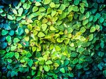 Nowonarodzony mały liścia bluszcz, światło słoneczne i obrazy royalty free