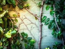 Nowonarodzony mały liścia bluszcz, światło słoneczne i obrazy stock