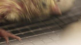 Nowonarodzony mały przepiórki kurczątko chodzi na metal klatce przy rolnym incubtor zdjęcie wideo