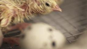 Nowonarodzony mały przepiórki kurczątko chodzi na metal klatce przy rolnym inkubatorem zbiory