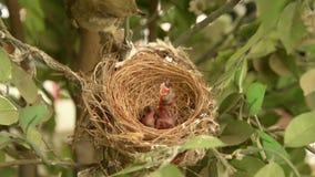 Nowonarodzony ptak, gnieżdżący się w gniazdeczka i piórka skrzydeł wzrostowej opowieści nowonarodzony bulbul ptak który widzii w  zdjęcie wideo