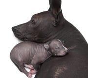 Nowonarodzony xoloitzcuintle szczeniak z jego matką Obrazy Stock