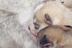 Nowonarodzonych szczeniaków Syberyjski husky Obrazy Royalty Free